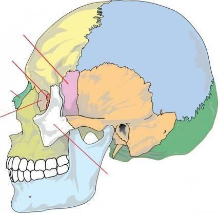 Human Skull Nolables clip art