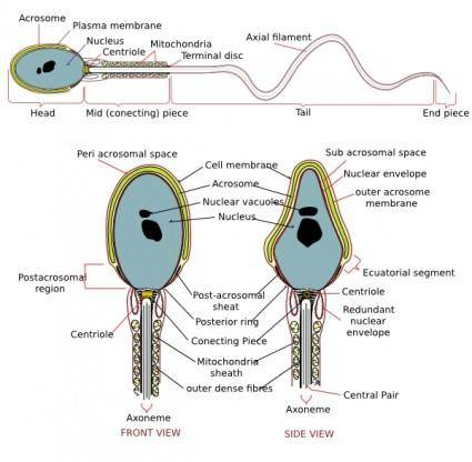 free vector Complete Diagram Of A Human Spermatozoa clip art