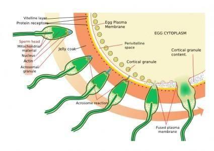 Acrosome Reaction Diagram clip art
