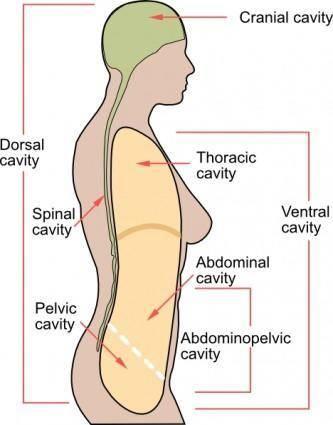 free vector Medical Body Cavities En clip art
