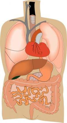 free vector Internal Organs Medical Diagram clip art