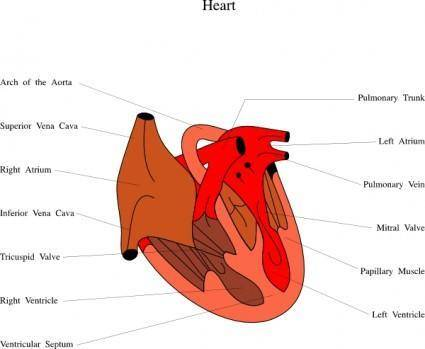 free vector Heart Medical Diagram clip art