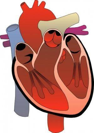 free vector Heart Medical Diagram clip art