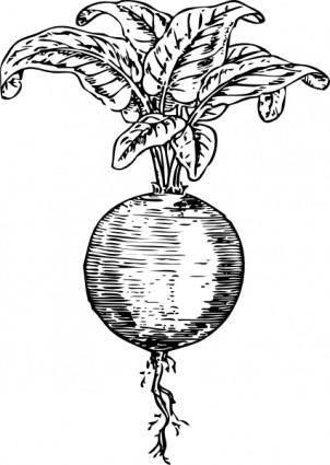 Beet clip art