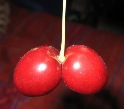 Cherry Double clip art