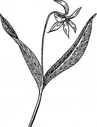 Dogtooth Violet clip art
