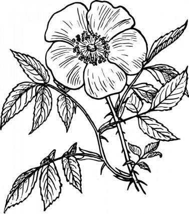 Eglantine Rose clip art