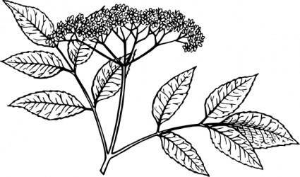 Elderberry clip art