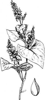 Buckwheat clip art