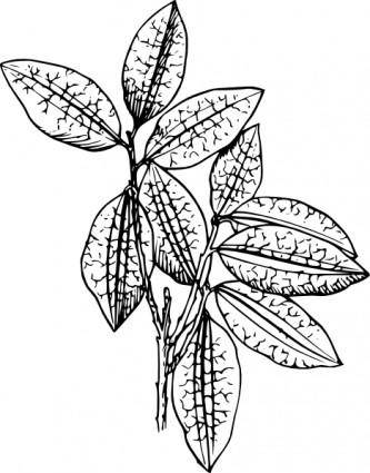 Coca Plant clip art
