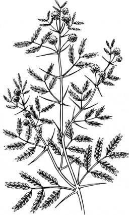 Acacia clip art