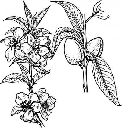 free vector Almond Plant clip art