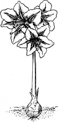 Amaryllis clip art