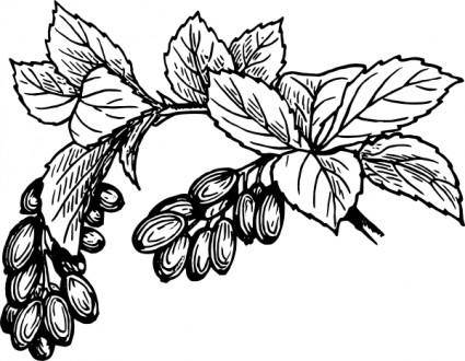 Barberry clip art