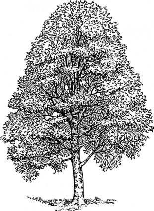free vector Beech Tree clip art