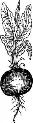 free vector Beet Root clip art