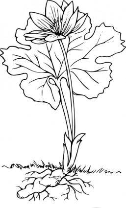 free vector Bloodroot clip art