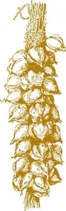 Garlic clip art
