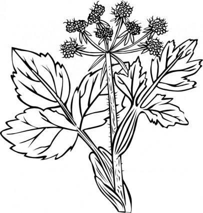Heraculeum Lanatum clip art