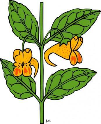 Impatiens Capensis clip art
