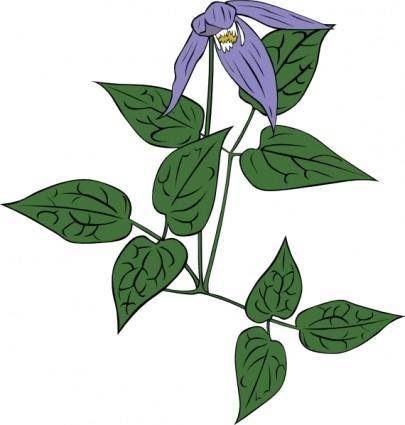 Clematis Occidentalis clip art