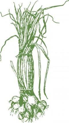 Onions clip art