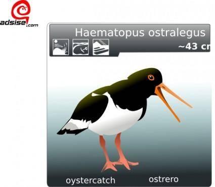 free vector Ostrero Oyster Catcher clip art