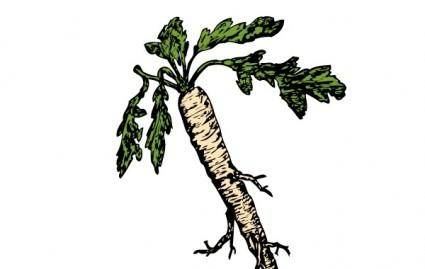 free vector Salsify Food Plants Root clip art