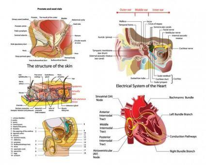 Vector diagram of human organs