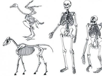 free vector Bones skeleton vector