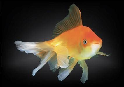 free vector Goldfish vector