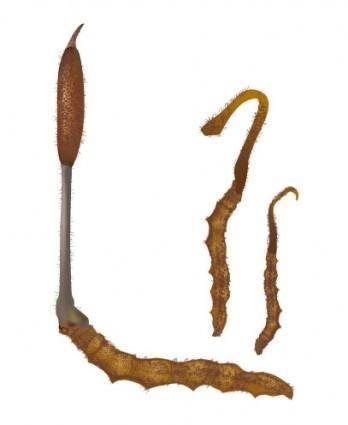 Vector cordyceps