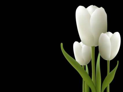 free vector White tulips vector