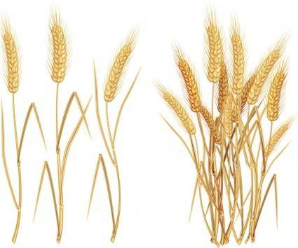 Yellow wheat 03 vector
