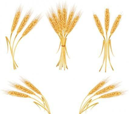 free vector Yellow wheat 04 vector
