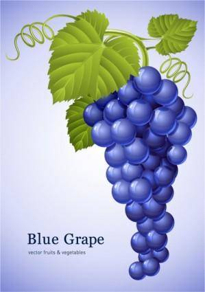Muscatel grapes vector