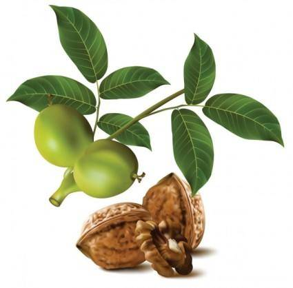 free vector Realistic green walnut walnut 04 vector