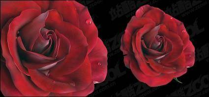 Vivid red roses