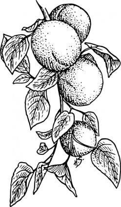 Apricot clip art