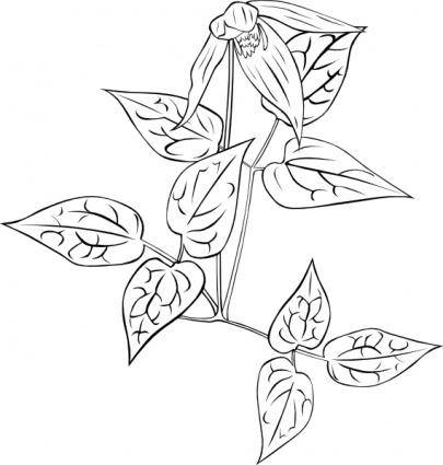 free vector Clematis Occidentalis Outline clip art