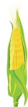 free vector Corn 2