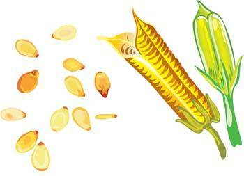 free vector Maize