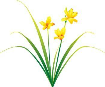 Narcis Flower 4