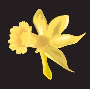 Narcis Flower 11