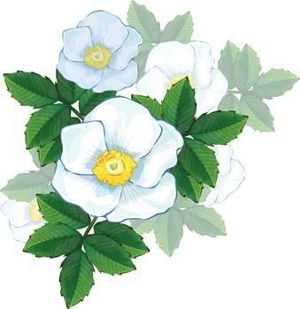 Rose Flower Vetor 50