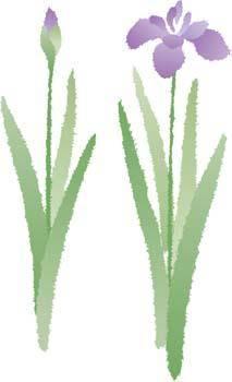 Iris Flower 4