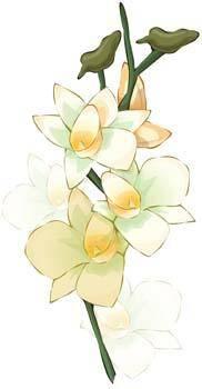 Narcis Flower 6