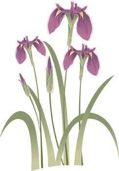 Iris Flower 5