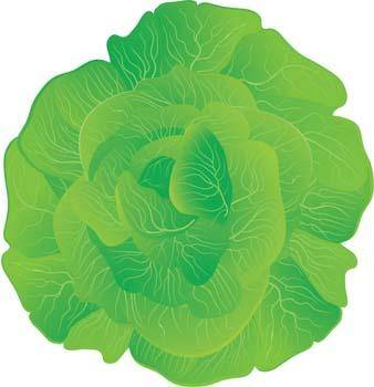 free vector Cauliflower 4