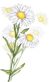 free vector Romashka daisy Flower 10